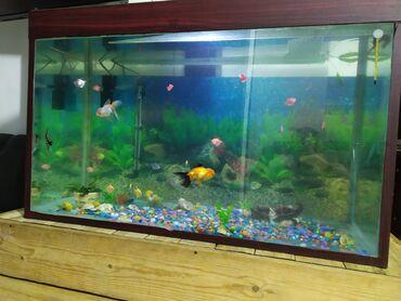 Животные - Пос. Дачный: Продаю аквариум 500 литров! Вместе с рыбками и оборудованием
