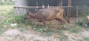 Животные - Чон-Арык: Продаю