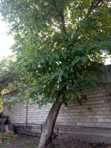 Ореховый дерево 20л цена договорная