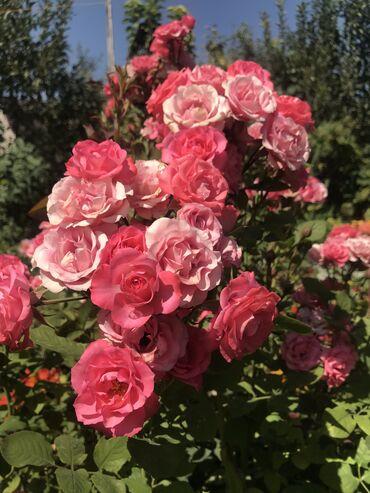 Дом и сад - Кыргызстан: Продаю корни роз! Разнообразные сорта (новинки) •бордюрки •миниатюрки