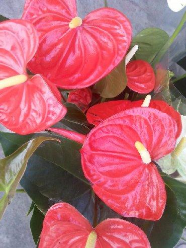 сортовой цикламен в Кыргызстан: Продаются комнатные цветы в розницу. Глоксинии, гузмания, орхидеи, ст