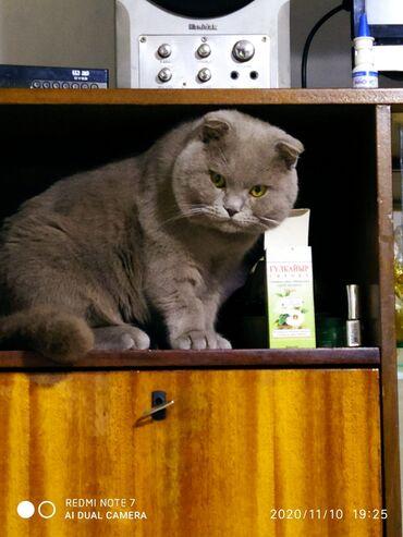 шотландский кот на вязку в Кыргызстан: Кот на вязку.шикарный котик,скоттиш фолд,лилового окраса.имеет полный