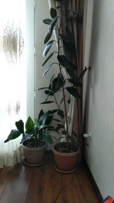 Z оператор - Кыргызстан: Продаю фикусы и другие цветы, комнатныеСамый большой фикус