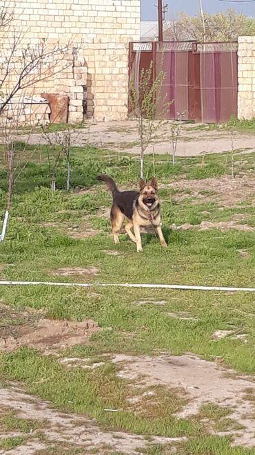 Животные - Ширван: Alman ovcarkasi