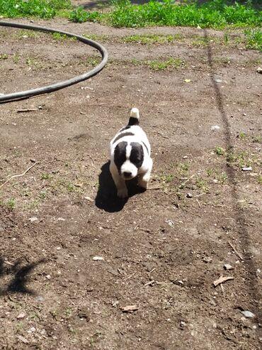 Животные - Чаек: Продаю щенка алабая двухнедельный щенок отец чемпион по турниру