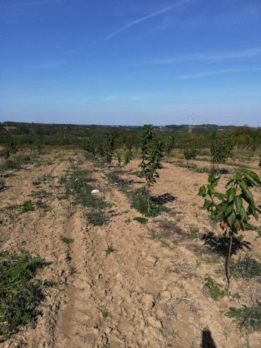 Na prodaju voćnjak od 76ari u Velikoj Plani tačnije jedan kilometar - Novi Banovci