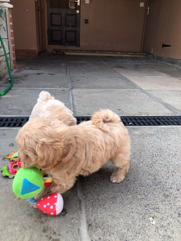 Kc Registered Maltipoo puppies for saleWe have male and female Kc