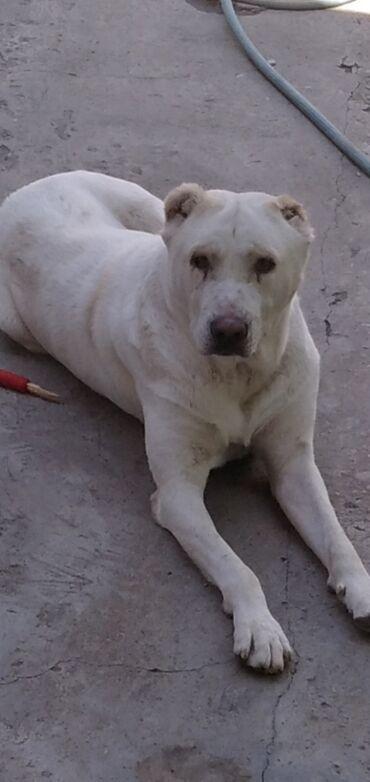 В районе Киркомстром потерялся собака Алабай возраст 2 года