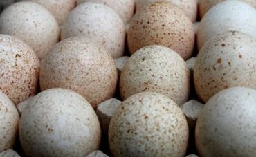 Продаю | Инкубационные яйца