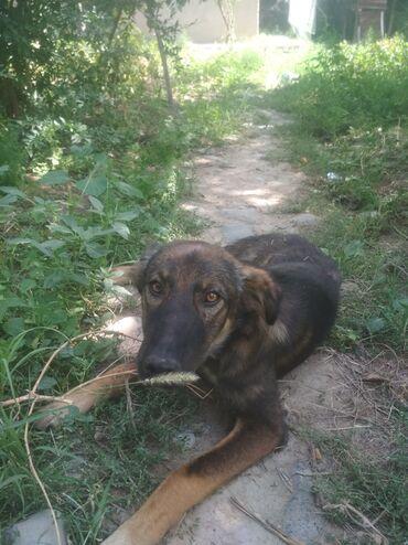 Собаки - Базар-Коргон: Продается собака