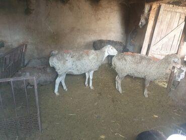 802 объявлений   ЖИВОТНЫЕ: Продаю   Овца (самка)   Для разведения