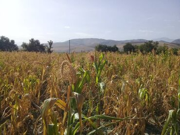42 объявлений | ЖИВОТНЫЕ: Продаю кукурузу в с.Токбай