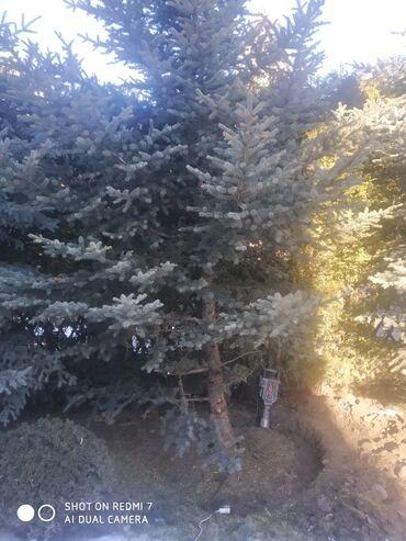 спящий ребенок на подушке в Кыргызстан: Пересадка Ёлок Туй кустарники любых видов растений пересадка делается
