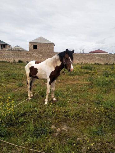 bmw-3-серия-318ci-at - Azərbaycan: Mustang At satılırİtalyan sortuŞəkillər ata aiddirAt Binə