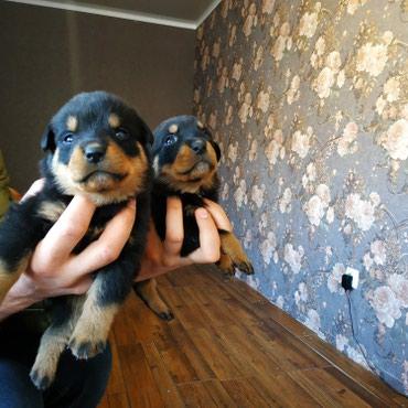 щенки ротвейлера (бронь)рождены 23.02.19 в Лебединовка