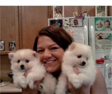 Χαριτωμένα κουτάβια Pomeranian για υιοθεσίαCute x mas Pomeranian