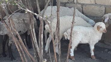 Kənd təsərrüfatı heyvanları Hacıqabulda: Salam ALLAH ALANADA SATANADA CEYEIN VERSIN 3 ANA 3 BALA 2 SI 2 CI