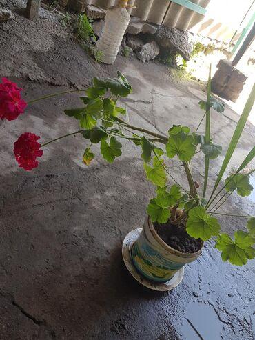 Комнатные цветы, разные: герань, спатифиллум,денежное дерево