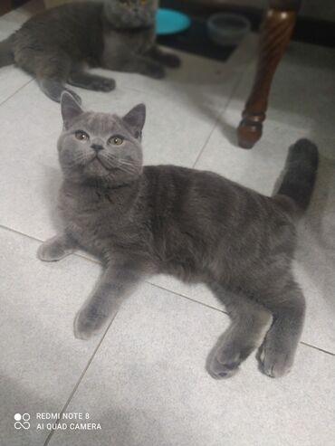 Срочно продаю котенка! Его зовут Сэм. Ему 5 месяцев. Приучен к лотку