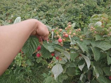 Саженцы - Кара-Балта: Продаются сажинцы голландской ремонтантной малины. Высокая урожайность