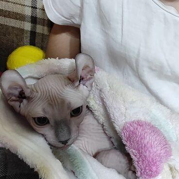 Продаю котенка канадского сфинкса эльфа. Мальчик4 месяца
