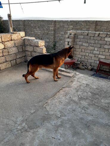 nemes avcarkasi - Azərbaycan: Təmiz qan nemes ! 2 yaşı var ! 650 azn ! Qiymət razılaşmaq olar əsl