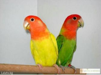 Попугаи розовощекие неразлучники в Кок-Ой