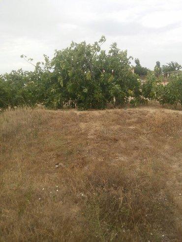 Bakı şəhərində kurdaxanida lehic bağlarinda 12 sot torpaq satilir uzumu ve əncil ağac- şəkil 2