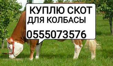Животные - Кара-Балта: Куплю скот на колбасный цех в любое время в любом виде