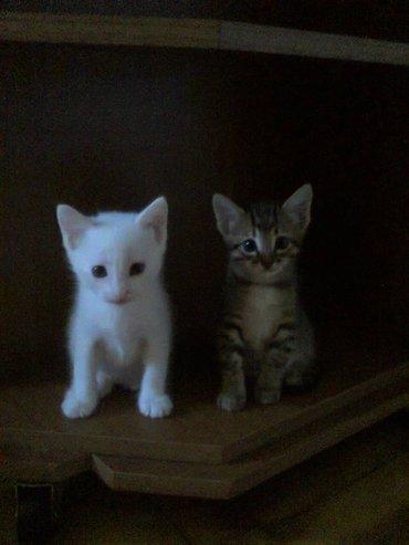 Продаются котята породы Ангора. Белые и тигровый, мальчик и в Баку