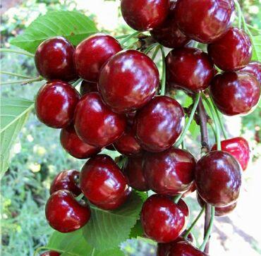 Продаются плодовые деревья Оптом и в розницу!Яблони, осенние и ранние