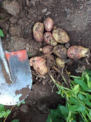 44 объявлений: Продаю семенной картофель сорта Пикассо1 и 2 репродукций1- репродукция