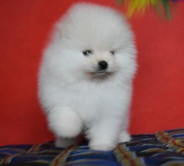 WhatsApp me +33 Pomeranian puppies for sale and any interested home
