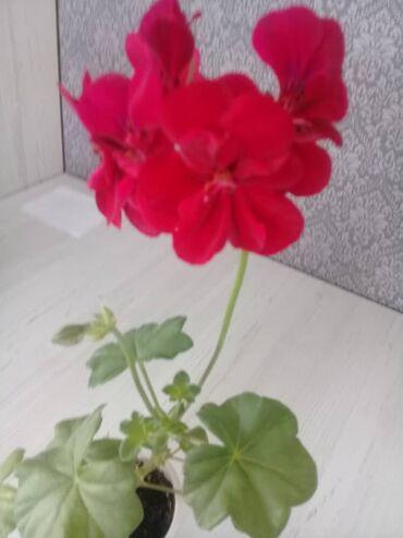 Комнатные растения - Кыргызстан: Пеларгония
