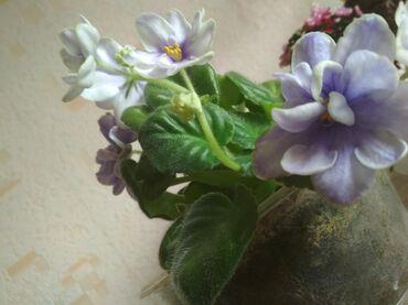 Комнатные растения, Фиалки, Бегония вечно цветущая, Пеперомия туполист