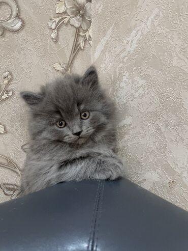 Животные - Кыргызстан: Скотиш Страйт породистые котята Шотландская прямоухая Родились 28.02 И