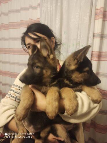 101 объявлений   ЖИВОТНЫЕ: Продаются щенки немецкой овчарки.2 месяца.проглистованы,привиты.фото