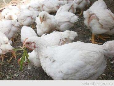 Срочно срочно Продаю цыплят бролерВозраст 1 месяцВес около 2
