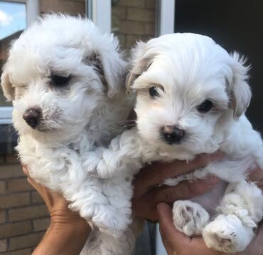 Maltese puppies for SaleAKC registered Maltese puppies. They are vet