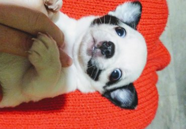 акустические системы rs колонка в виде собак в Кыргызстан: Продается щенок чихуахуа, мальчик, вес не большой. Возраст 1,5 месяца