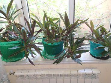 bitkiler - Azərbaycan: Bitkiler 1 denesi 5 manat