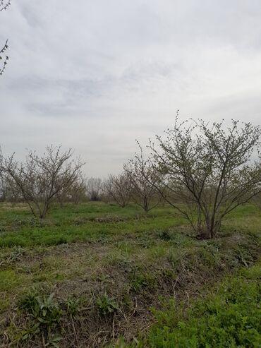 Torpaq sahələrinin satışı - Xudat: Torpaq sahələrinin satışı 250 sot Kənd təsərrüfatı, Mülkiyyətçi, Kupça (Çıxarış)