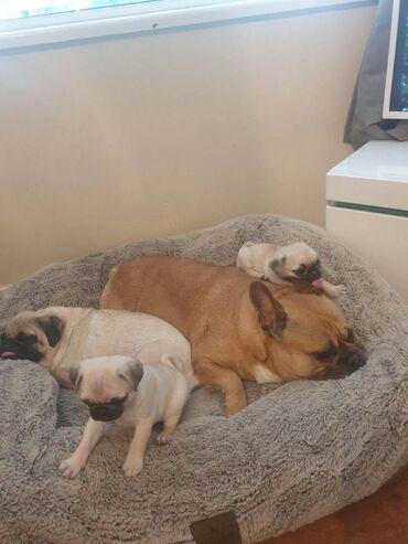 Πωλούνται κουτάβια PugΚουτάβια Pug αρσενικά και θηλυκά Έτοιμα προς