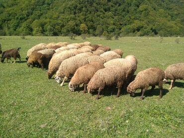 quzular - Azərbaycan: Quzular diri çəki 5 manatdan 33 başdı