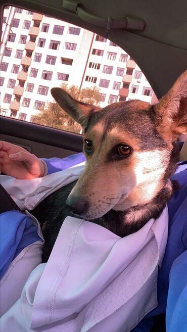 животн в Кыргызстан: Статная, добрая, собака-компаньон, она социолизирована и спокойная. Де