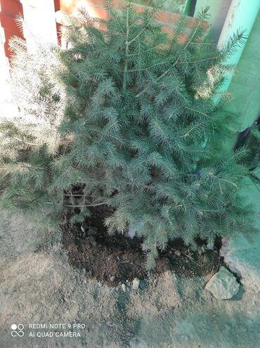 продажа семена в Кыргызстан: Продаю елки