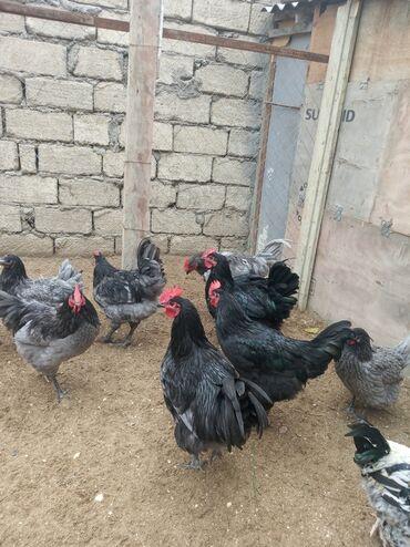 qan lekesi - Azərbaycan: Təmiz qan avstralop xoruzları