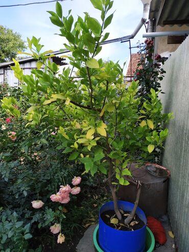 Лимоны - Кыргызстан: Среднее дерево лимона  Плодоносит каждый год
