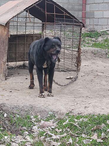 42 объявлений | ЖИВОТНЫЕ: Собака ратвейлер 1000сом