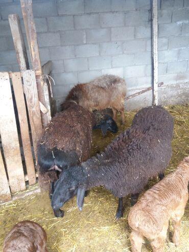 Продаю | Овца (самка) | Полукровка, Арашан | Для разведения | Племенные, Котные, Матка